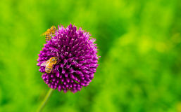 Close-up of a bee on purple flowers. Close-up of a bee on purple flowers royalty free stock images