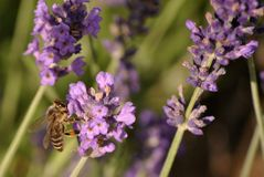 Bee on lavender bush. Close up of a bee on a purple lavender flower bush stock image
