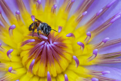 Close up bee in purple lotus flower Stock Images