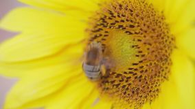 Close up of bee on rich sunflower picking honey stock video footage