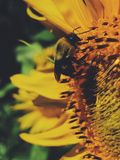 Bee and sunflower. A close up of a bee and sunflower Stock Images