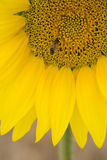 Close-up of bee on sunflower Stock Photo