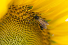 Close up of bee on sunflower. Royalty Free Stock Photo