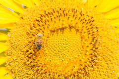 Close up bee on Sunflower Royalty Free Stock Photo