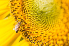 Close up bee on Sunflower Stock Photography