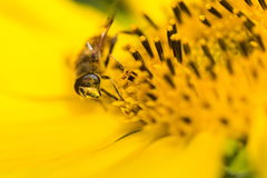 Close up of bee on sunflower Royalty Free Stock Photo