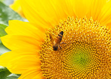 Close up bee on sunflower Stock Image