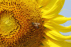 Close up of bee on sunflower Royalty Free Stock Photos