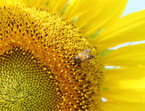 Close up of bee on sunflower Royalty Free Stock Photography