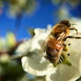 Close Up of Bee On Sunny Day royalty free stock photo