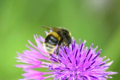 The beautiful fuzzy bee on the purple pink flower closeup Stock Photos