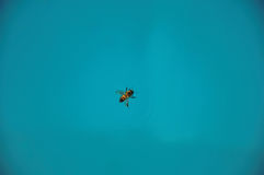 Close-up of a bee on top of the water, near Monte Alegre do Sul. Royalty Free Stock Photo