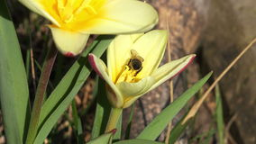 Close up on a bee on a tulip,4K stock video footage