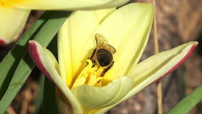 Close up on a bee on a tulip. Spring stock video