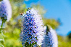 Close up of bee visiting california lilacin sunny day in garden stock image