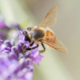 Close-up of bee at work. Macro of a bee foraging in lavender Stock Photos