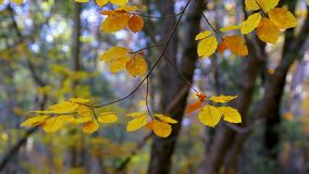 Close up of beech tree leaves in autumn time stock footage