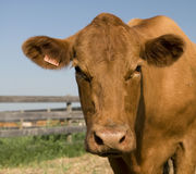 Close-up Beef Cow. Staring at the camera Stock Photography