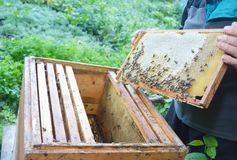 Close up on Beekeeping. Beekeeper holding frame of honeycomb from beehive with working bees. Beekeeper holding frame of honeycomb from beehive with working bees stock photos