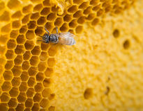 Close up bees. (Apis florea) work on honeycomb Stock Photography