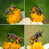 Close up  bees on  flower Royalty Free Stock Photo