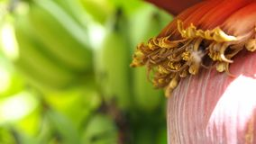 Close up bees  fly to collect sweet nectar from banana flowers. The background is a banana bunch. Mother in Thailand eat bananas f stock footage