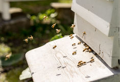 Close up of bees flying in and Out of their hives Stock Photography