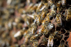 Close up of bees on a honey comb. Horizontal close up of honey bees working on a honey comb Royalty Free Stock Photography