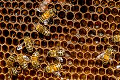 Close up of bees on honeycomb in apiary royalty free stock photo