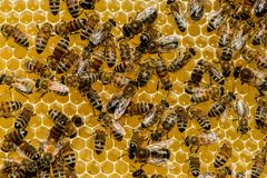 Close up of bees on honeycomb in apiary stock photography