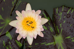Close up of bees, on the lotus flower. Close up lotus flower with bees Royalty Free Stock Photos