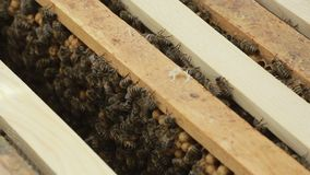 Close up of bees in a swarm a hive stock video