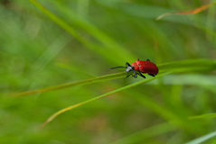 Close Up of beetle on green grass Royalty Free Stock Photos