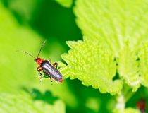 Close up of the beetle sitting on the leaf Royalty Free Stock Photo