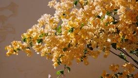 Close up bege de florescência do oleandro Oleandro que floresce com as flores bege bonitas filme