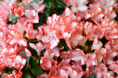 Begonia plant and flowers Royalty Free Stock Image