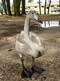 A close-up of a beguiling trumpeter swan in the summertime Stock Images