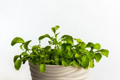 Close up on a beige pot with green rukola royalty free stock photography