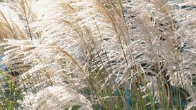 Close-up beige riet in de herfst stock video