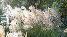 Close-up beige riet in de herfst stock video
