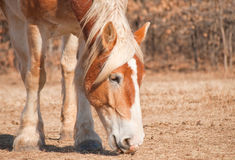 Close up of a Belgian Draft horse. Close up image of a beautiful blond Belgian Draft horse nibbling on grass in a dry winter pasture Stock Photography