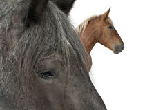 Close-up of Belgian horse Stock Photos