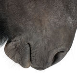 Close-up of Belgian horse Stock Image