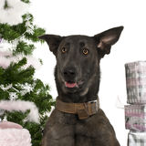 Close-up of Belgian Shepherd Dog, Malinois. Belgian Shepherd Dog, Malinois, 20 months old, with Christmas gifts in front of white background Stock Photos