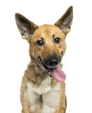 Close-up of a Belgian shepherd dog panting, looking crazy. Looking at the camera, isolated on white royalty free stock image
