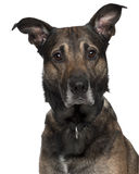Close-up of Belgian Shepherd puppy, 4 months Royalty Free Stock Image