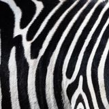 Close-up of the belly of a zebra, scientific name Equus zebra,graphic impression.  royalty free stock images
