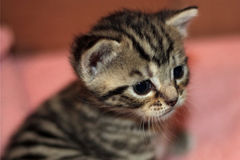 A close up of a bemused kitten Royalty Free Stock Images