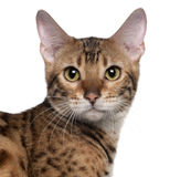Close-up of Bengal cat, 7 months old royalty free stock photo