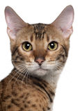 Close-up of Bengal cat, 7 months old Stock Photography
